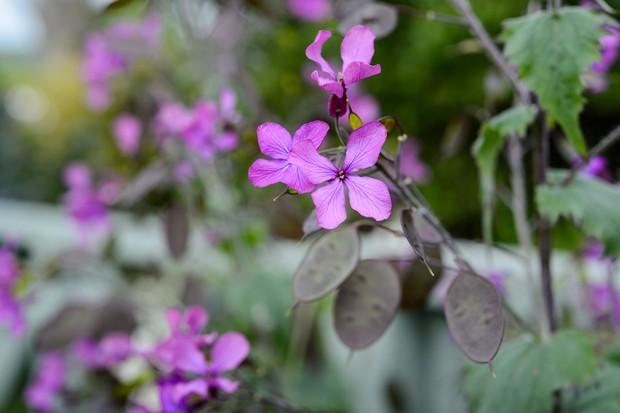 Purple honesty flowers and seedheads