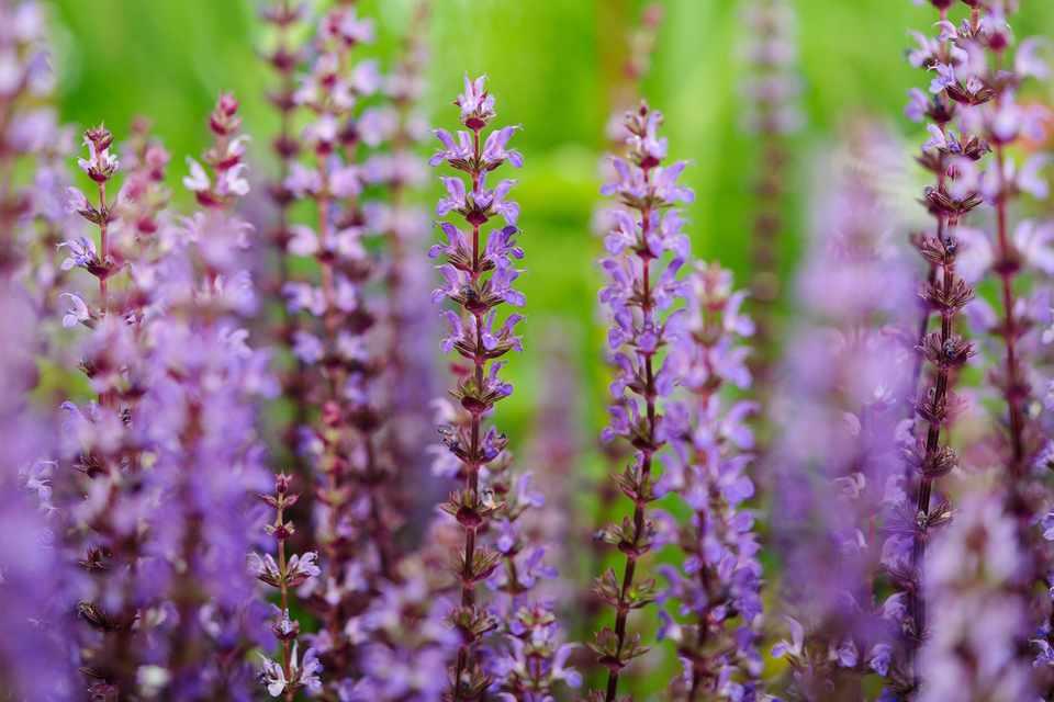 Salvia nemorosa flowers