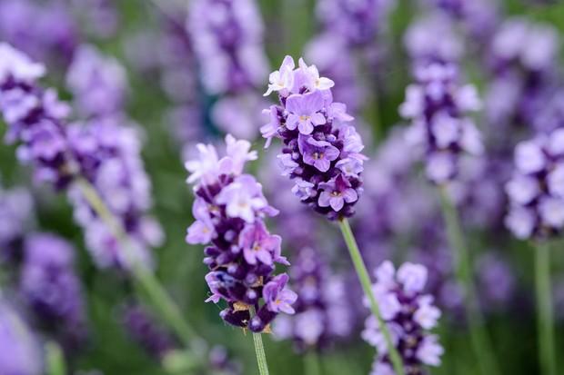 Lavandula angustifolia 'Hidcote' flowers