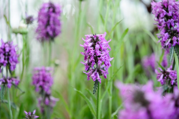 Pink flowers of Stachys officinalis