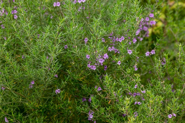 Prostanthera phylicifolia flowers