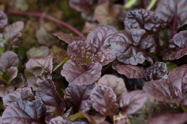 Dark purple-black leaves of Ajuga reptans 'Black Scallop'