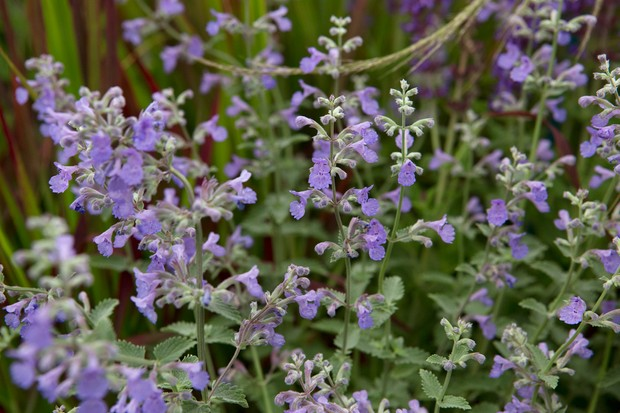 Purple flowers of Nepeta 'Six Hills Giant'