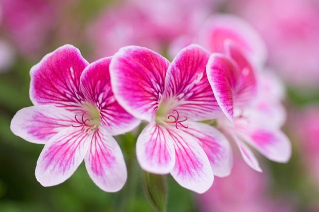 Pelargonium 'Cottenham Cheer'