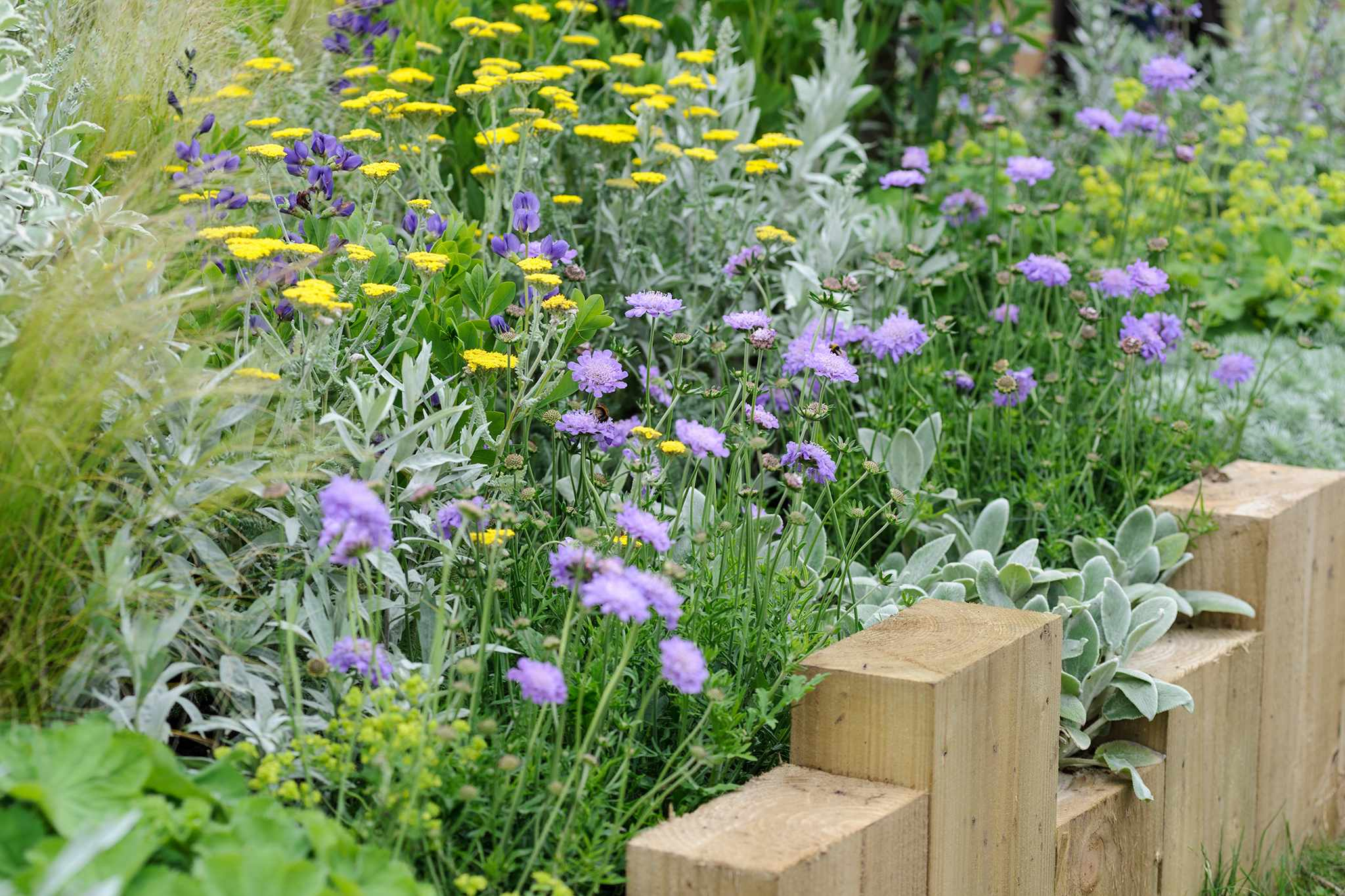 Repeat-flowering scabious growing with achillea and stachys