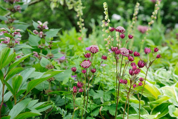 Astrantias growing with hostas and acanthus
