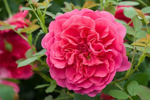 Rose 'Sir John Betjeman'
