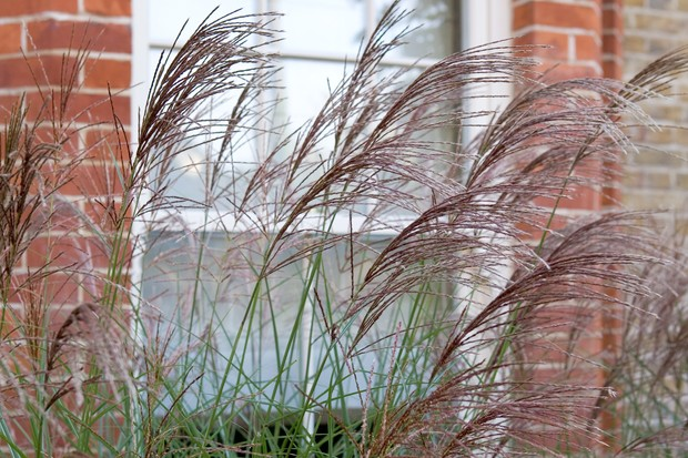 Calamagrotis planted in front of a window