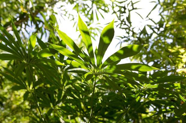Schefflera taiwaniana