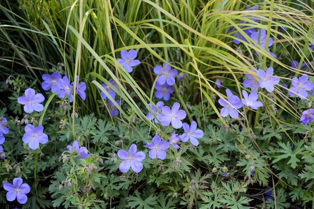 Geranium 'Johnson's Blue' and Luzula growing together