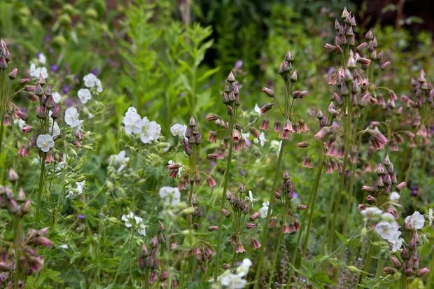 White Geranium phaeum and mauve pink Nectaroscordum siculum growing together
