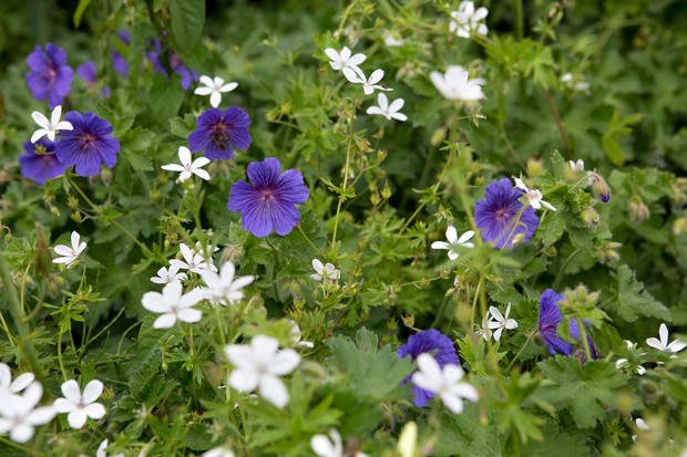Blue and white-flowered geraniums growing together