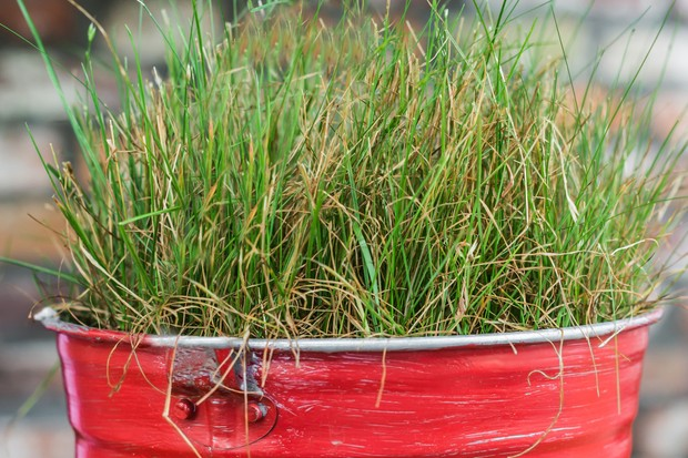 Dense mat of grass gowing in a tin bucket