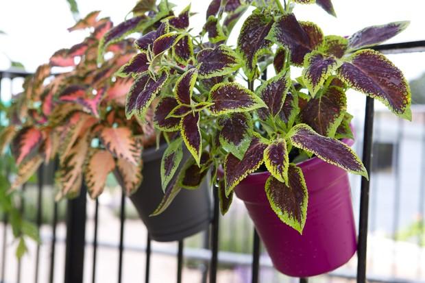 Balcony planters planted up with coleus