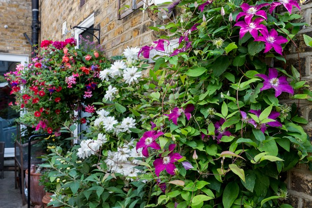 Container-grown climbers growing against a wall