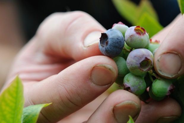 Harvesting ripe blueberries