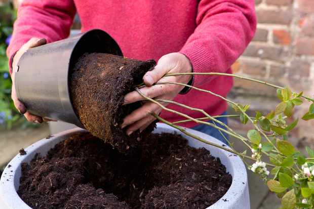 Gardener planting a blueberry bush in a pot