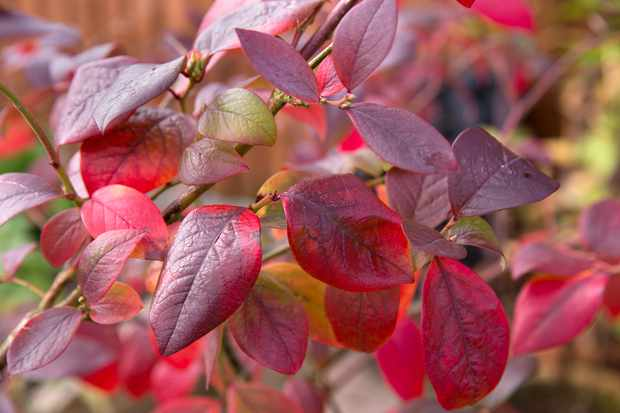 Blueberry leaves in autumn shades of red