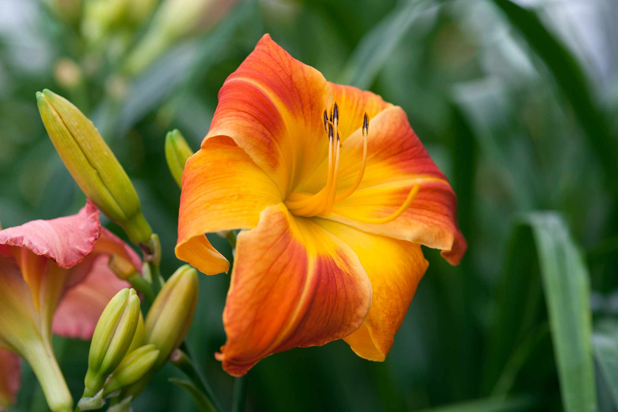 Daylily 'Red Twister'