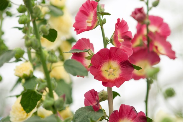 Hollyhock (Alcea rosea 'Halo Red')