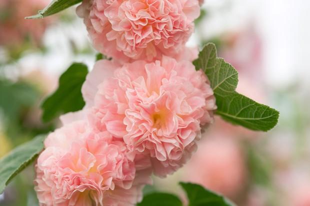 Hollyhock (Alcea rosea 'Peaches 'n' Dreams')