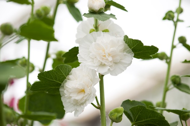 Hollyhock (Alcea 'The Bride')