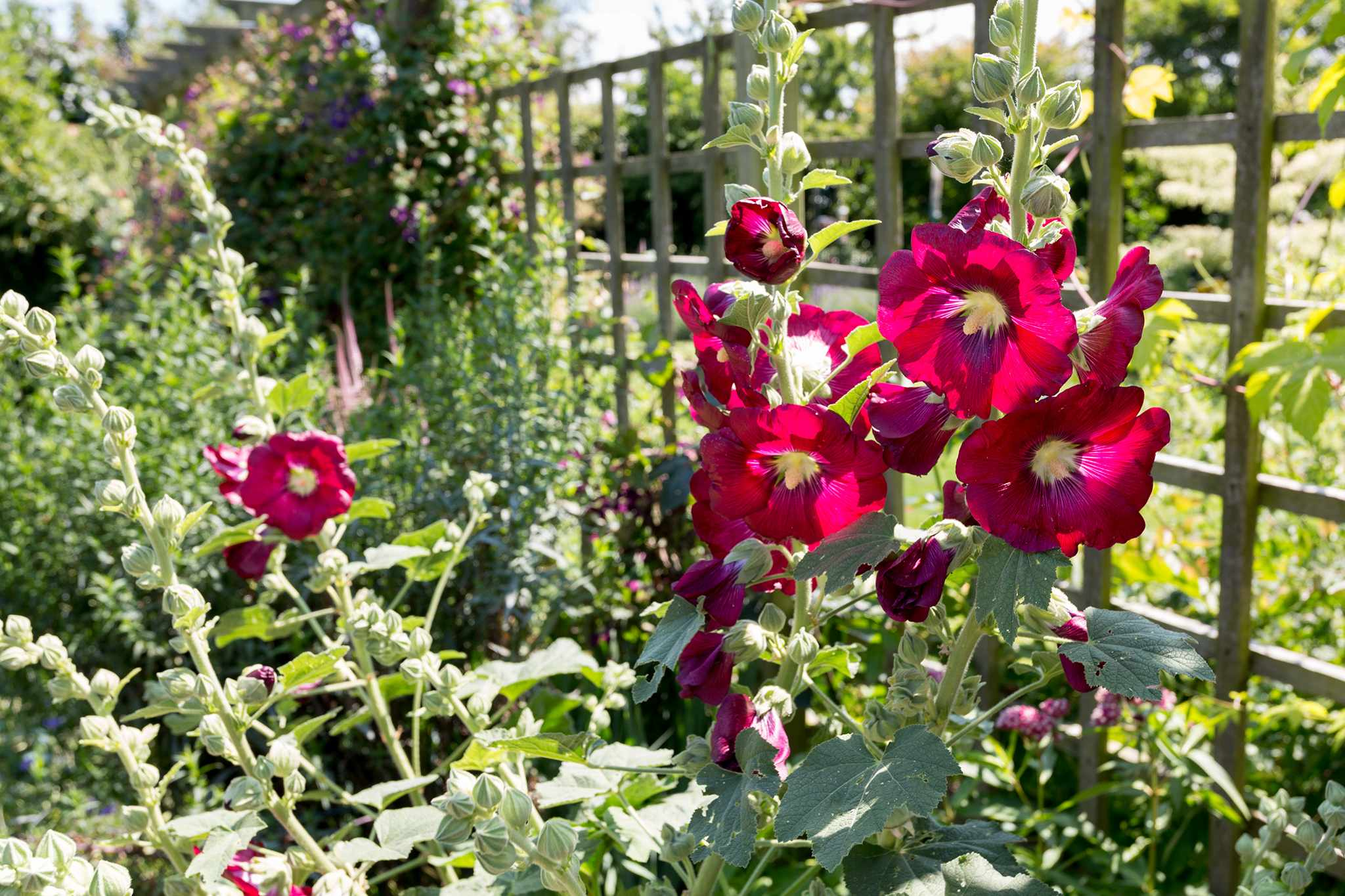 Hollyhocks in border