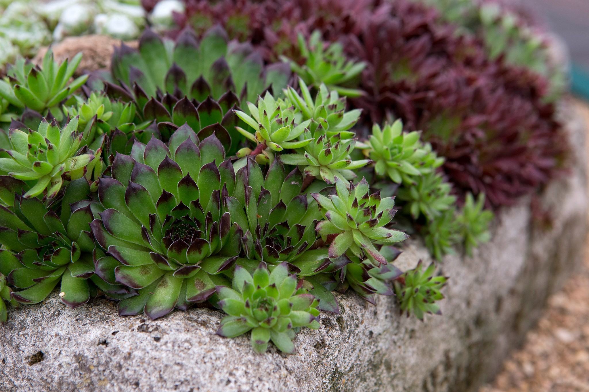 Sempervivums in a stone bath container