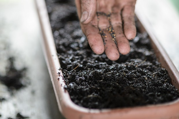 Sowing a crop on winter salad leaves