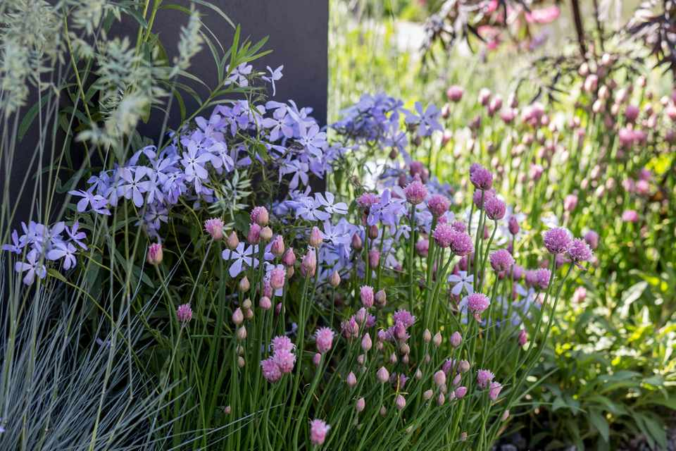 Phlox to grow - plant combination of chives with Phlox divaricata 'Clouds of Perfume'
