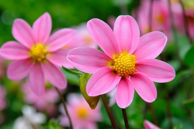 Dahlia 'Topmix Pink'
