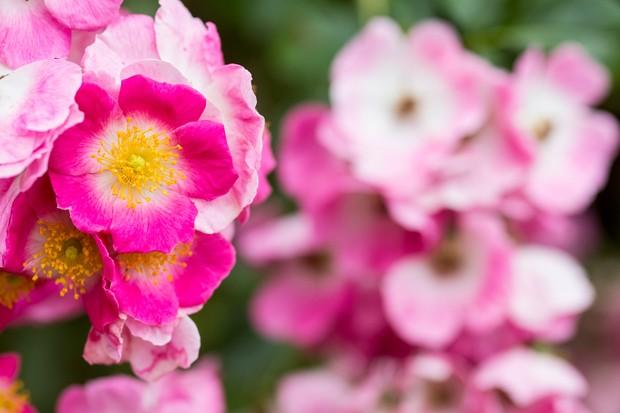 Rose 'American Pillar'