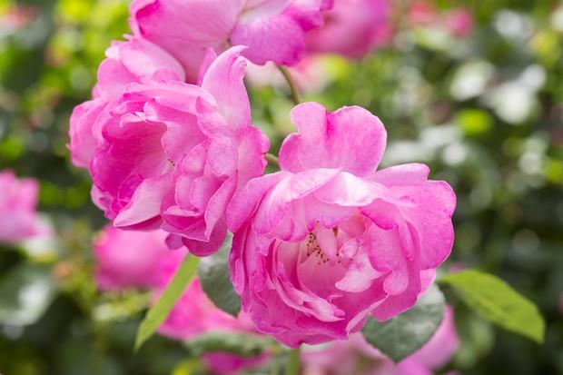 Rosa 'Annick'
