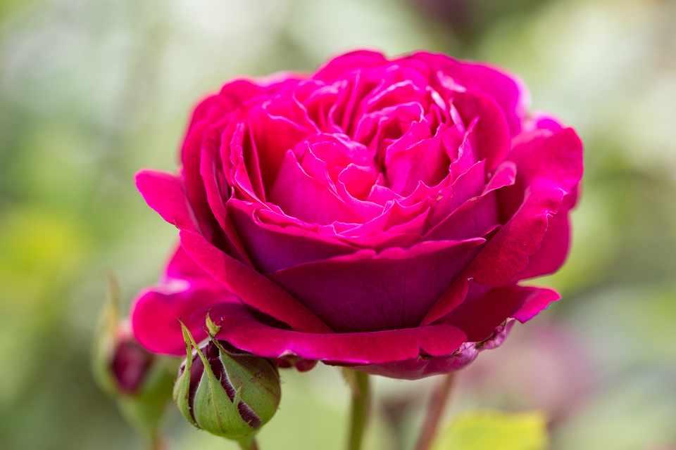 Rosa 'Sophy'