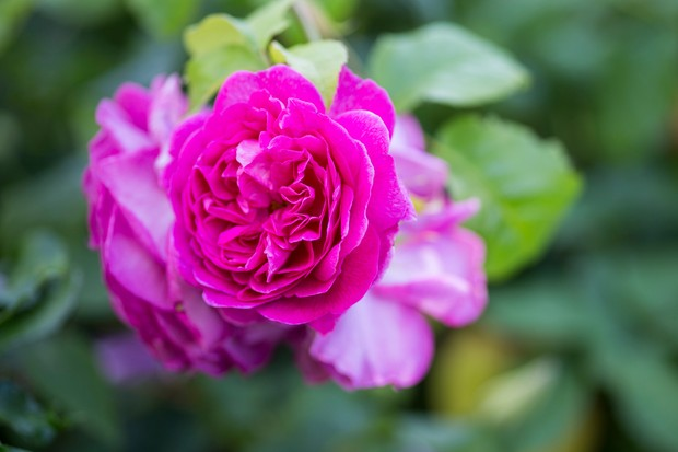 Rosa 'Young Lycidas'