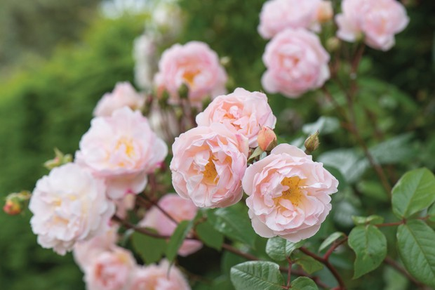 Rosa 'Lady of the Lake'