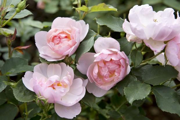 Rose 'Scarborough Fair'