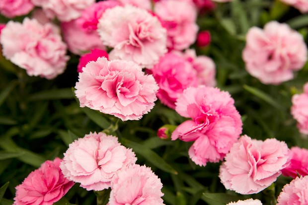 Dianthus 'Candy Floss'