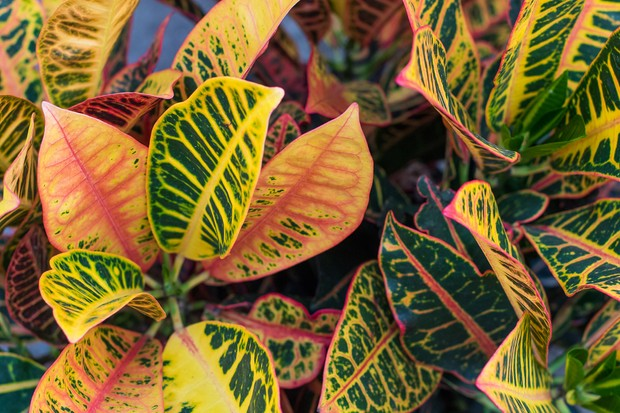 Croton, Codiaeum variegatum pictum, Getty Images