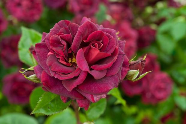 Rosa 'Katie's Rose'