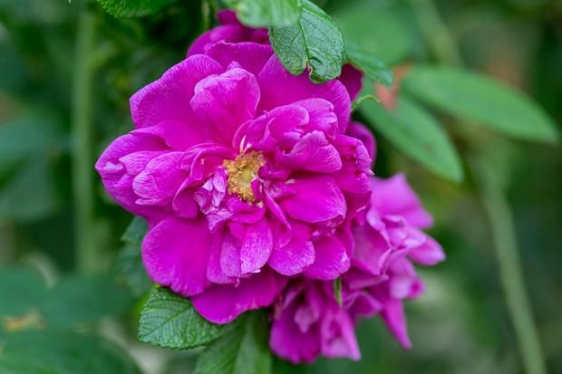Rosa 'Roseraie de l Hay'