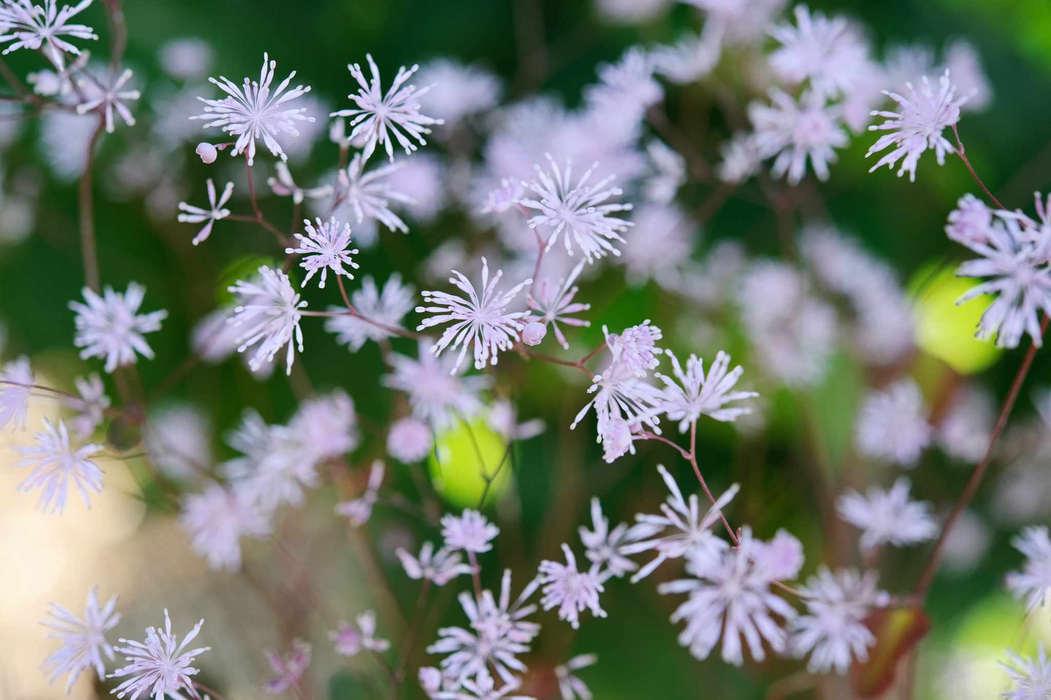 Thalictrum ichangense 'Purple Marble'