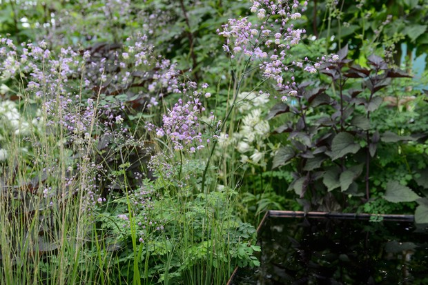 Thalictrum delavay with astrantias and ageratina