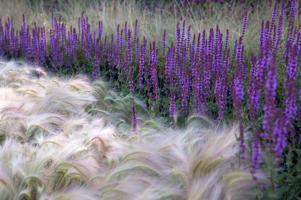 Foxtail barley grows with with Salvia 'Mainacht'