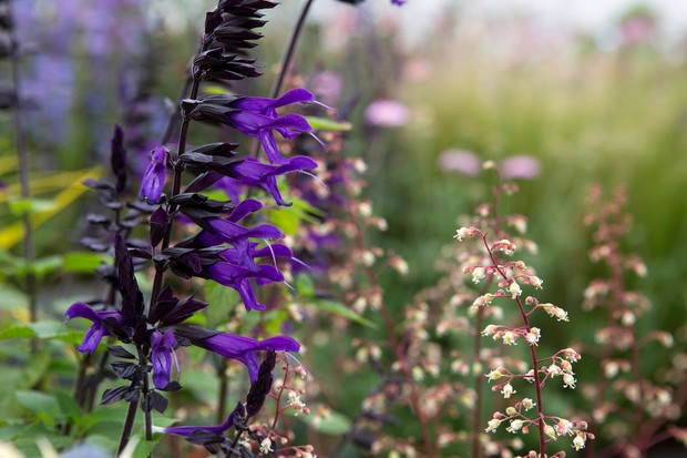 Salvia 'Amistad' with heuchera flowers