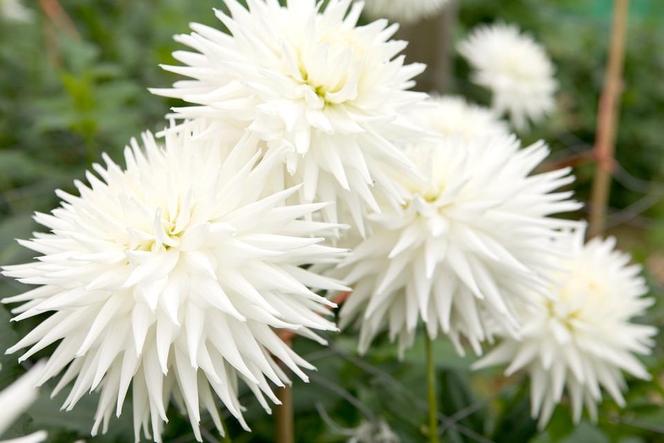 White Dahlias To Grow Bbc Gardeners World Magazine