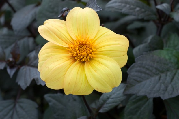 Dahlia 'Yellow Hammer'