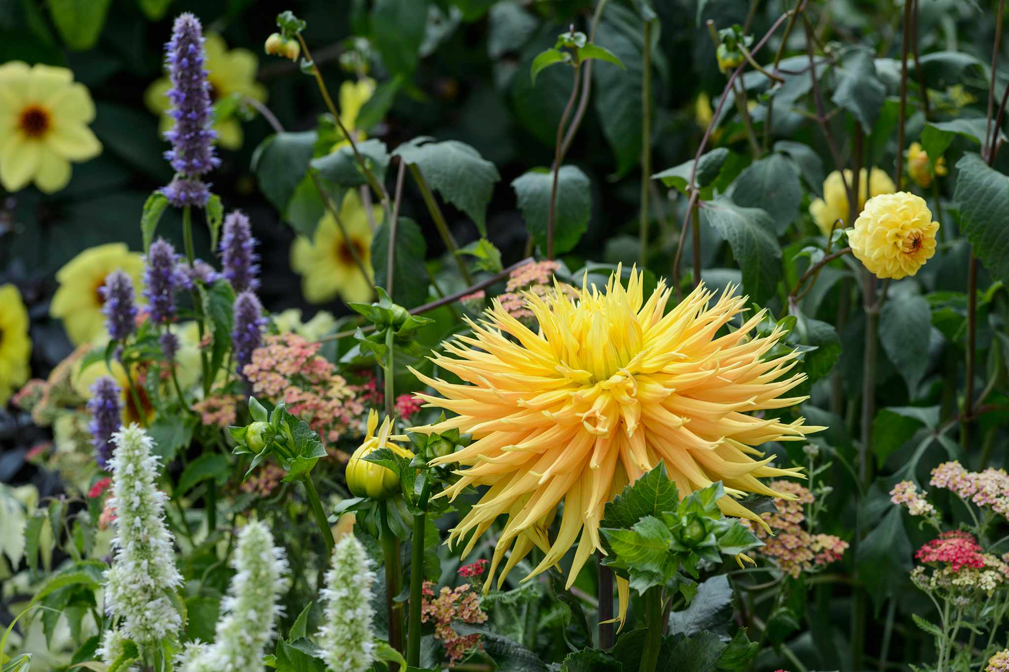 Yellow-flowered dahlias - yellow cactus growing among other herbaceous plants