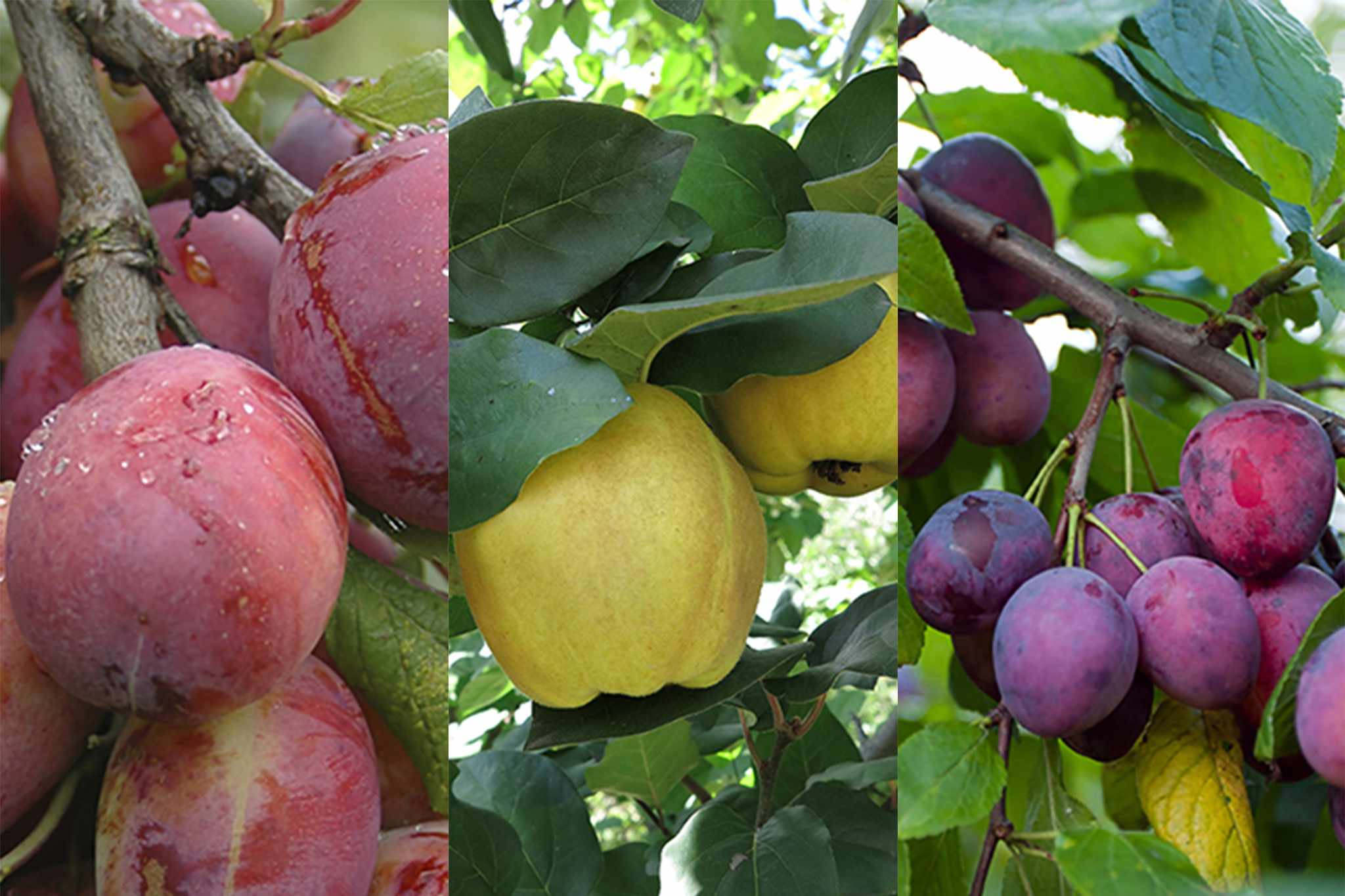 blooming-direct-25-per-cent-off-fruit-trees-2048-1365