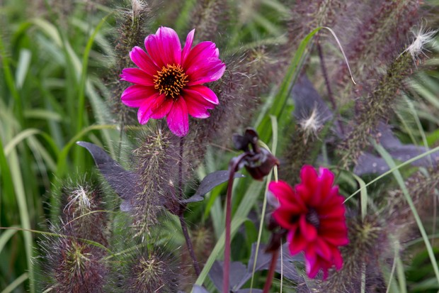 Pennisetum alopecuroides 'Red Head' and Dahlia 'Bishop of Canterbury'
